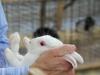 arab-international-rabbit-show-albino-rabbit
