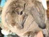 giant-flemish-rex-rabbit-sandy-pattern