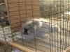 grey-angora-rabbit